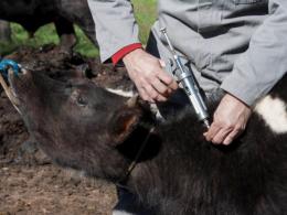 Vacinação contra aftosa em Tio Hugo atinge 100% do rebanho
